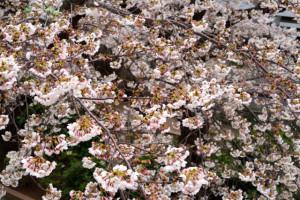 桜150328
