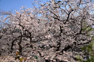 桜150331