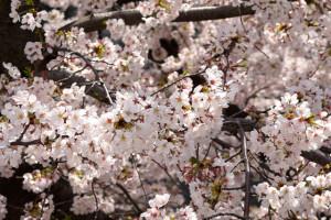 桜150402