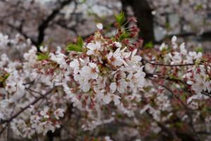 桜150403