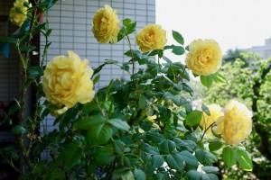 薔薇2018春