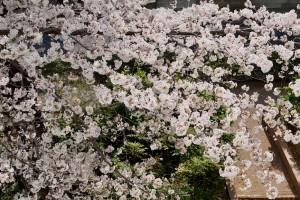 180329桜